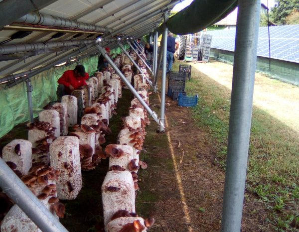 Funghi Shiitake sotto i pannelli solari, produzione naturale brevettata